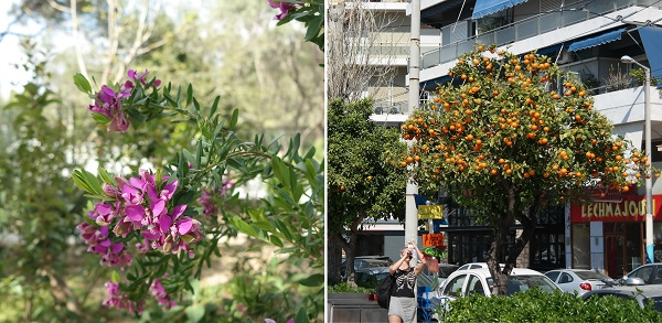 Purple flowers and oranges in the streets of Athens