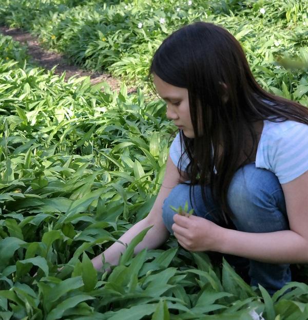 analizagonzales.com, picking ramson, ramson, ramsløk, foraging, wild garlic,